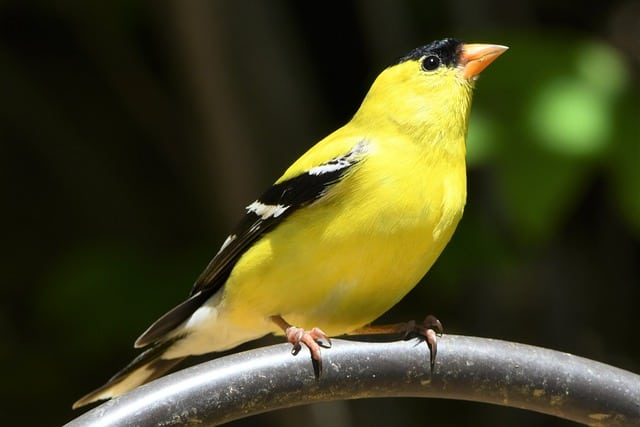 American Goldfinch on Branch