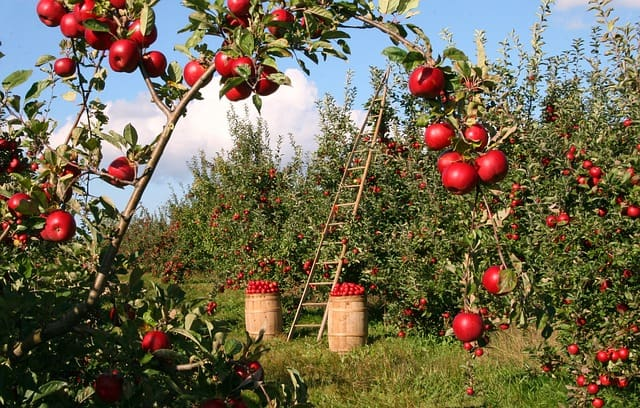 Apple Tree Care