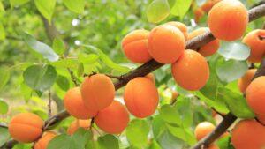 Apricot Tree Varieties