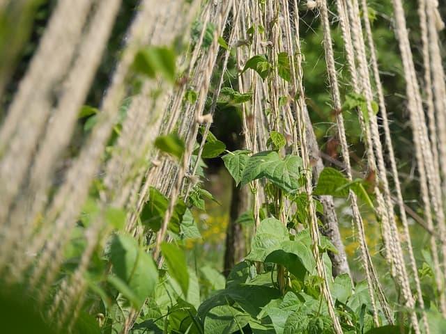 Bean Plant Care