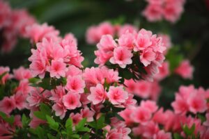 Best Fertilizer for Azaleas
