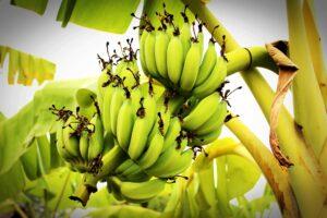 Best Fertilizer for Banana Trees