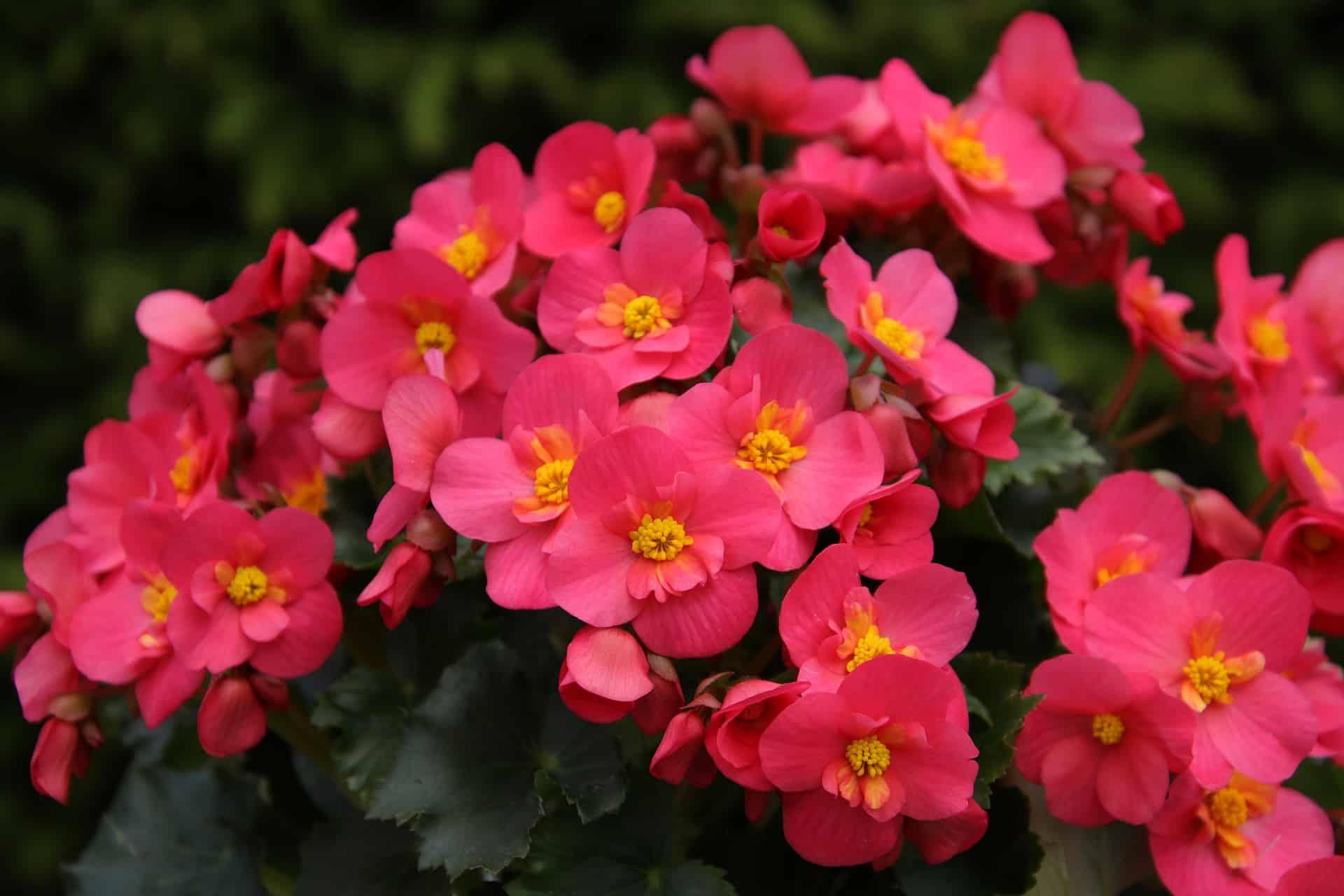 Best Fertilizer for Begonias