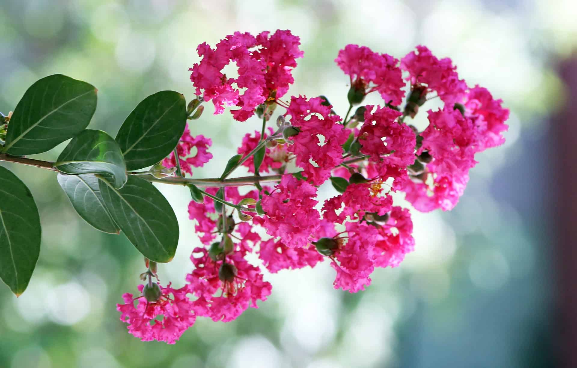 Best Fertilizer for Crepe Myrtles