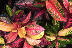 Best Fertilizer for Crotons
