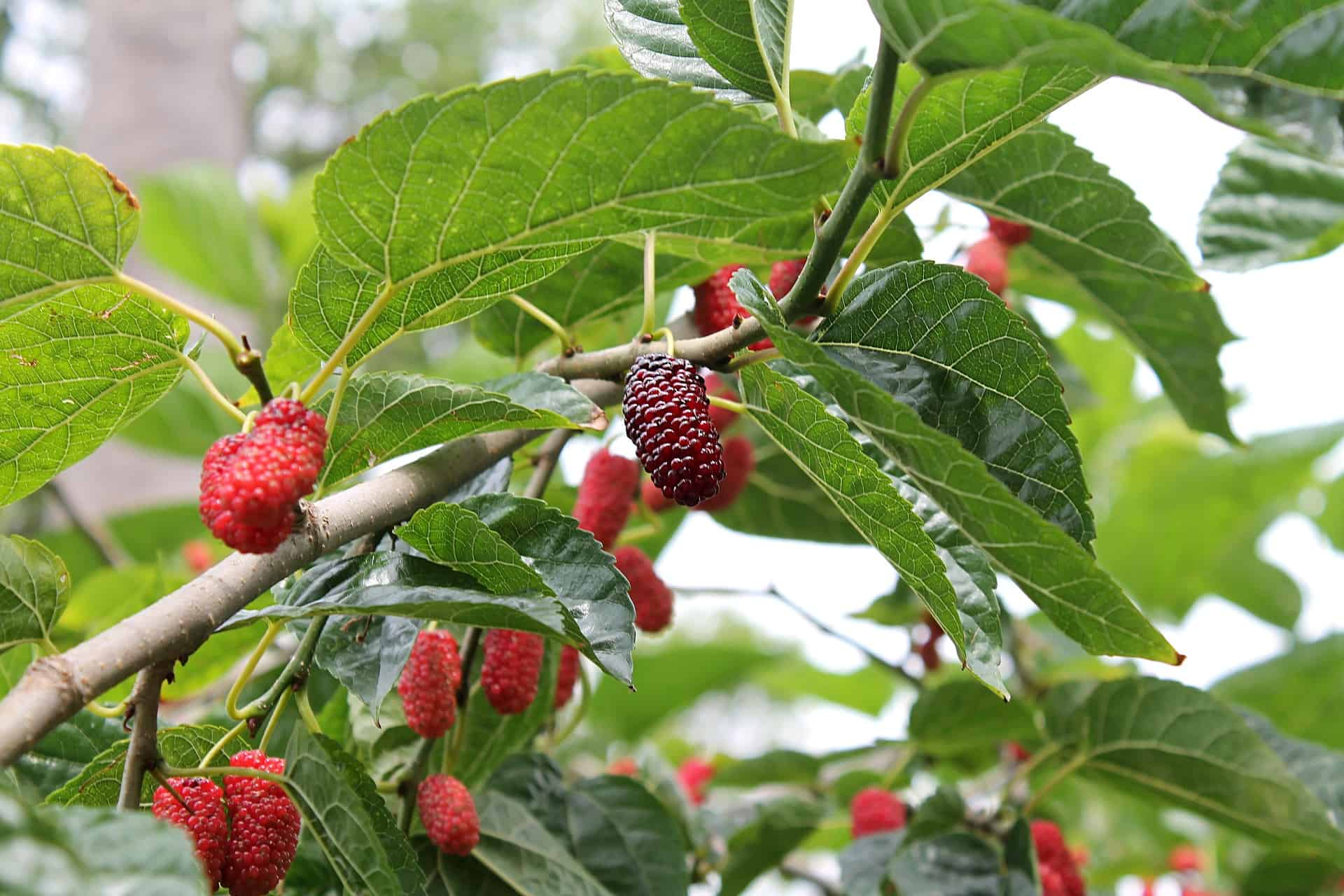 Best Fertilizer for Mulberry Trees