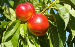 Best Fertilizer for Nectarine Trees