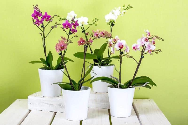 Best Fertilizer for Phalaenopsis Orchids