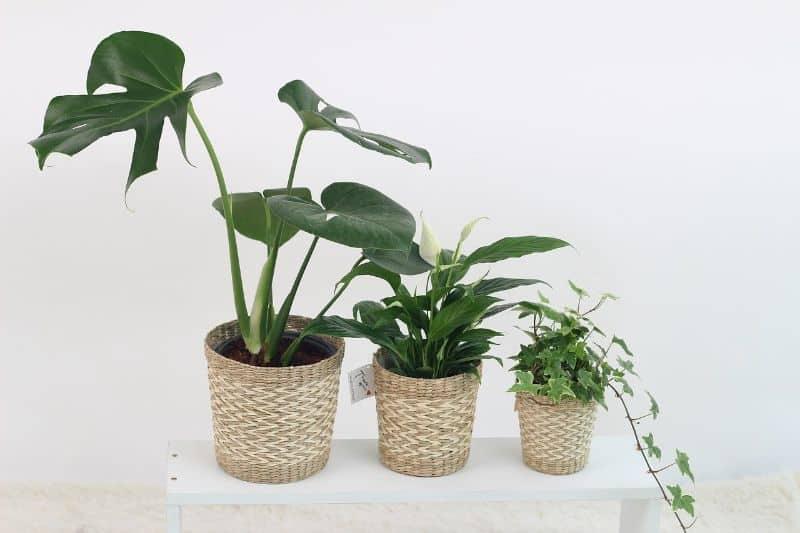 Best Fungicide for Indoor Plants