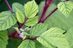 Best Hedge Trimmer for Blackberries