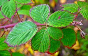 Best Herbicide for Blackberry Control