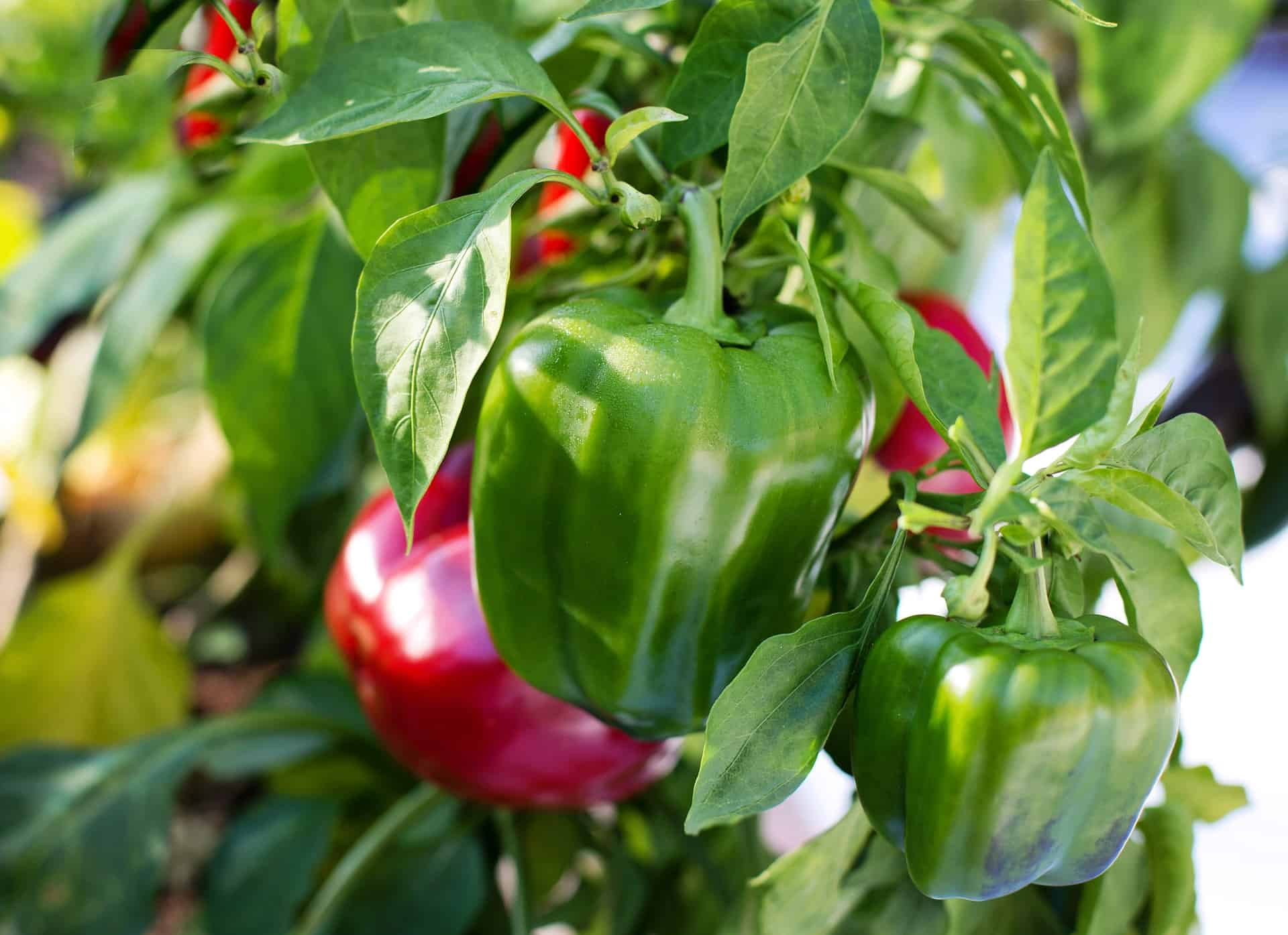 Best Hydroponic System for Peppers