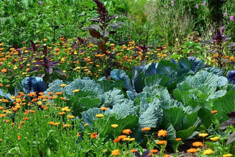 Best Marigolds for a Vegetable Garden