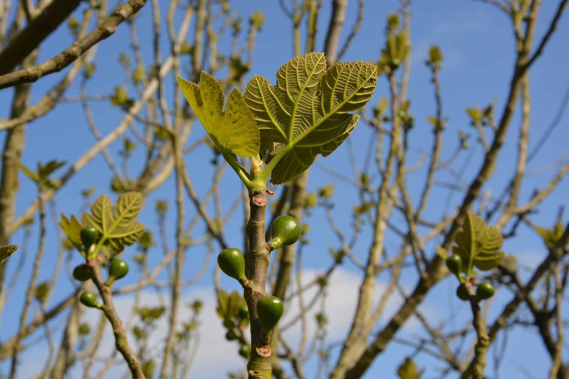 Best Mulch for Fig Trees