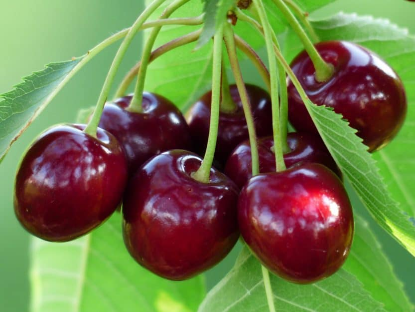 Best Soil for Cherry Trees