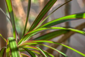 Best Soil for Dracaena Marginata