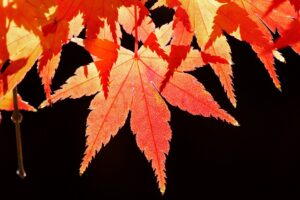 Best Soil for Japanese Maple in Container