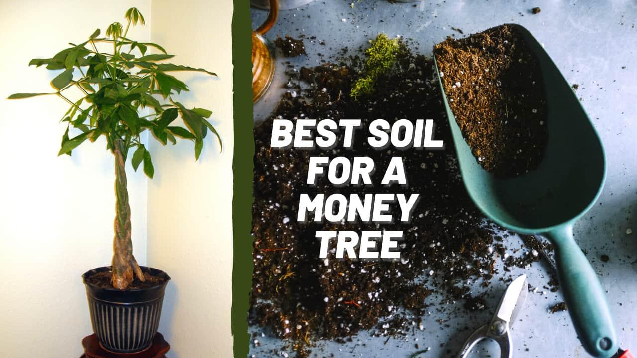 Best Soil for Money Tree