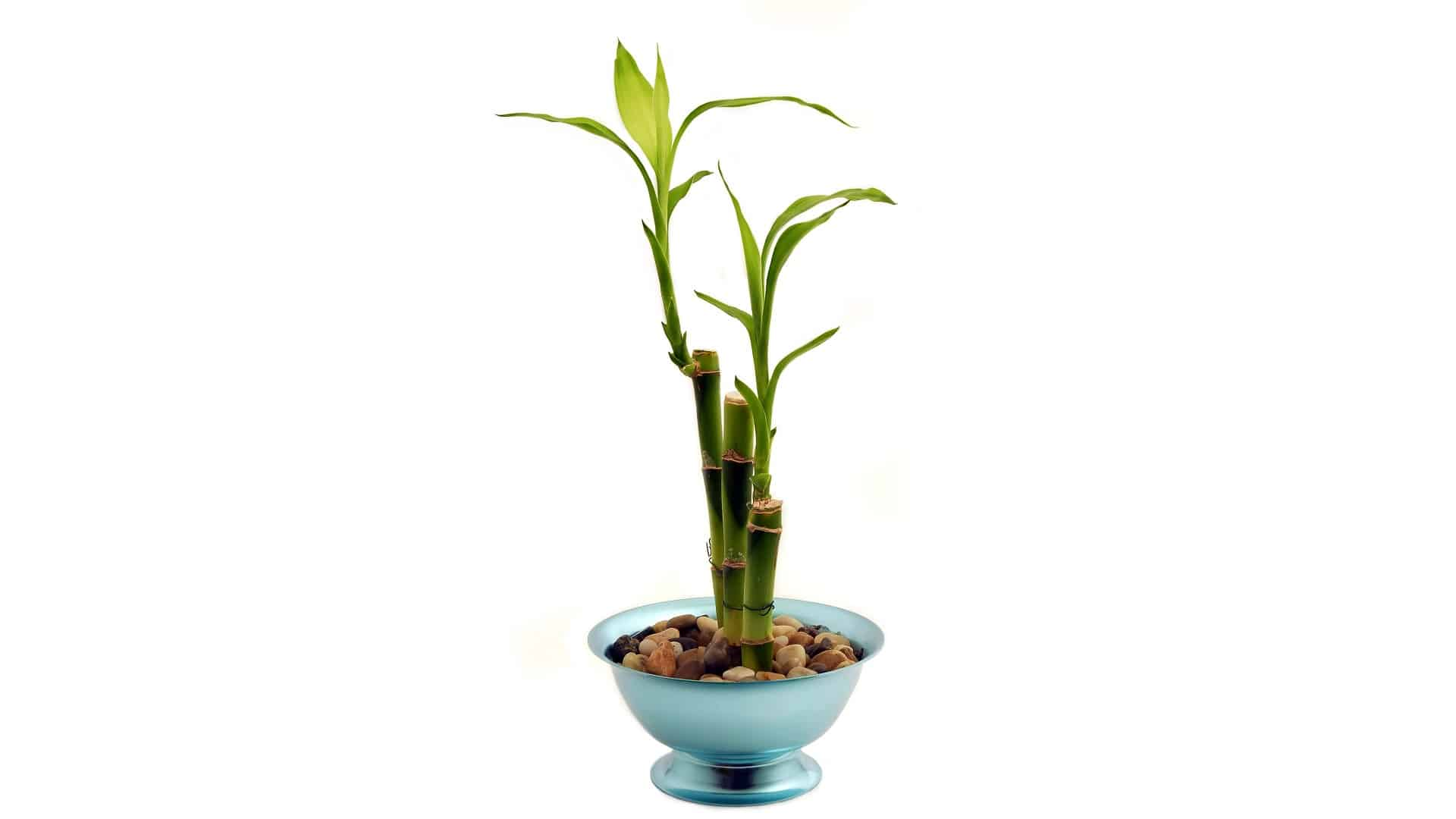 Best Vase for Lucky Bamboo