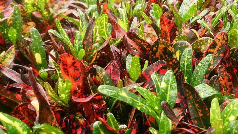 Bush on Fire Croton - Mokkie CC-BY SA 4.0
