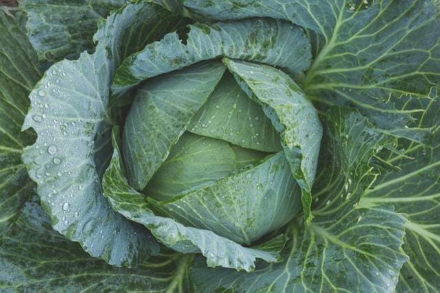 Cabbage Plant Care