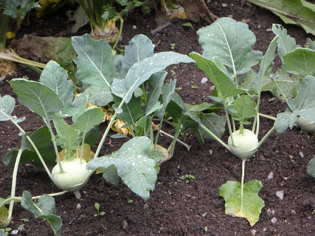 Caring for Kohlrabi