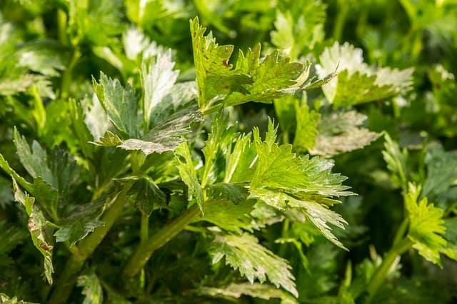 Celery Plant Care