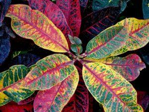 Croton Fertilization Guide