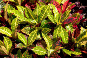 Croton Plant Varieties - Types of Crotons