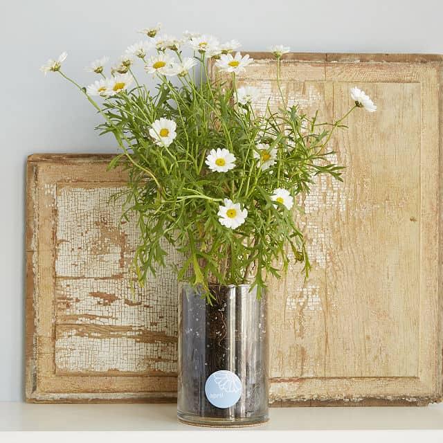 Daisy Birth Month Flower Grow Kit