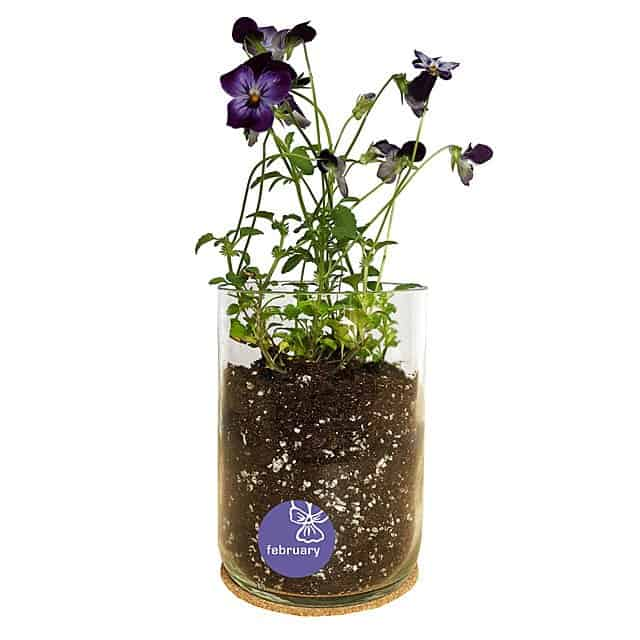 February Birth Month Flower Violet Pansy Grow Kit