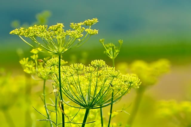 Fennel Care