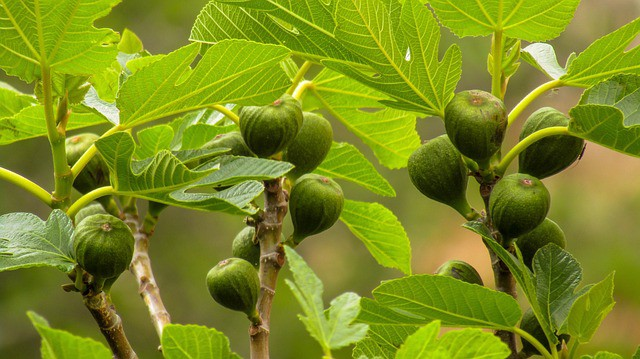 Fig Tree Care and Maintenance