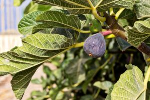 Fig Tree Varieties