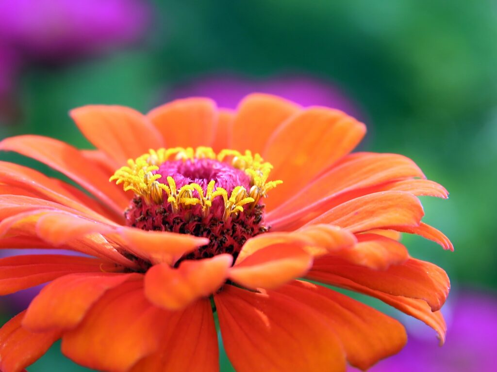 Flowers To Plant in May - Zinnia