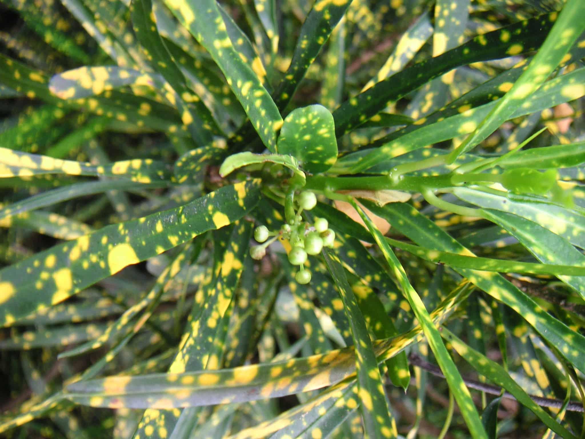 Gold Star Croton