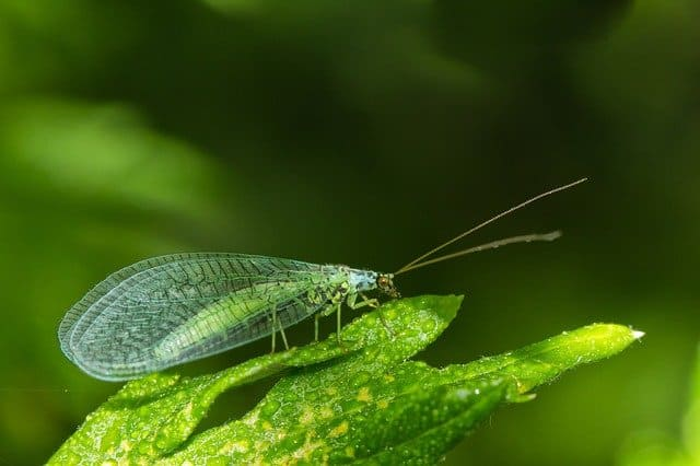 Green Lacewing on Leaf Close to Aphid