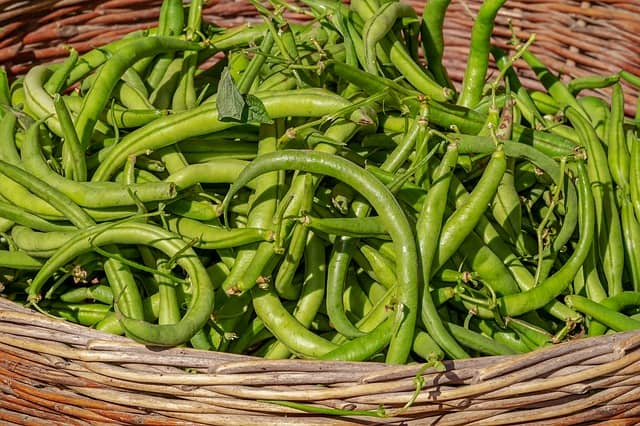 Harvesting Green Beans