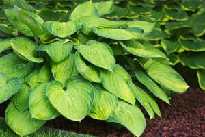Hosta Varieties - Types of Hosta
