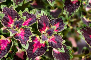How Cold Can Coleus Tolerate
