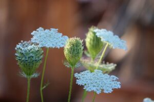 How to Grow Queen Anne's Lace (Ammi Majus)