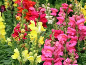 How to Grow Summer Snapdragon (Angelonia)