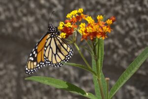 How to Grow Butterfly Weed Asclepias