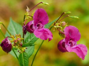 How to Grow Balsam
