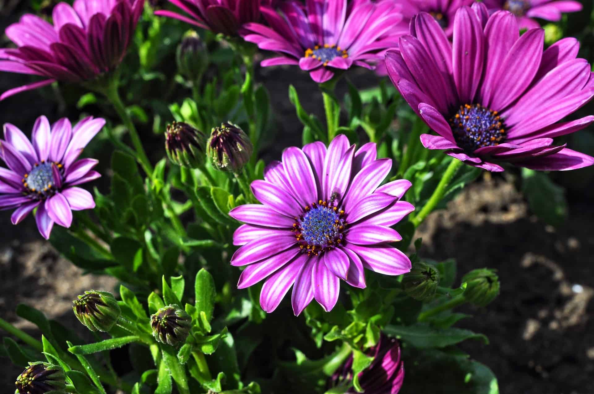 How to Grow Blue Eyed Daisies