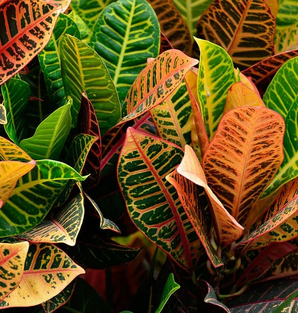 How to Fertilize Croton