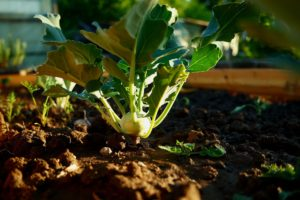 How to Grow Kohlrabi