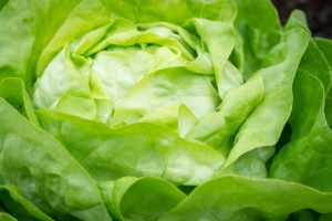 How to Grow Lettuce at Home