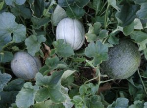 How to Grow Melons