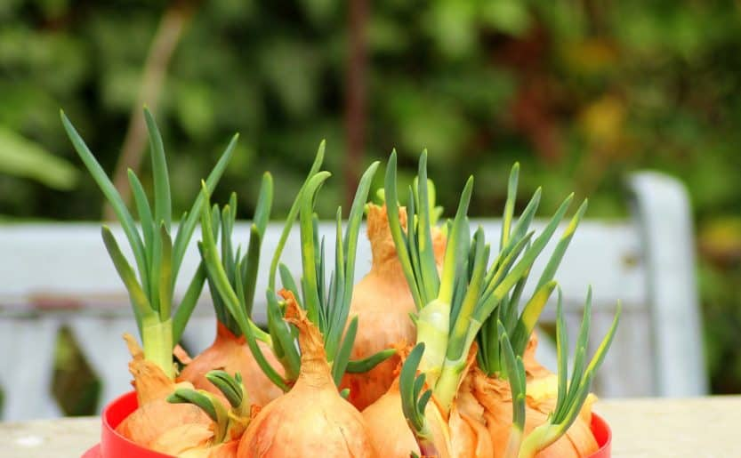 How to Grow Onions in the Garden